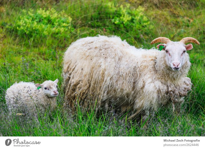 Icelandic sheep and lamb grazing in a field in summer Meat Mountain Baby Mother Adults Family & Relations Youth (Young adults) Group Nature Landscape Animal
