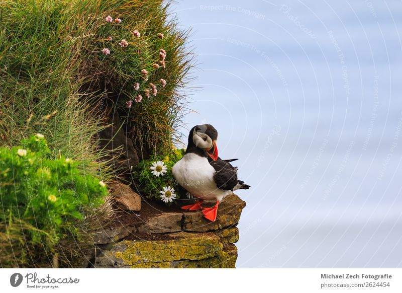 Puffin with Leucanthemum on the cliffs in Iceland Vacation & Travel Nature Summer Blue Colour Beautiful Green White Ocean Animal Black Grass Small Tourism Stone
