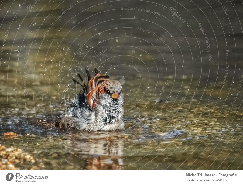 Bathing sparrow in a brook Wellness Swimming & Bathing Nature Animal Water Drops of water Beautiful weather Brook Bird Animal face Wing Sparrow Passerine bird