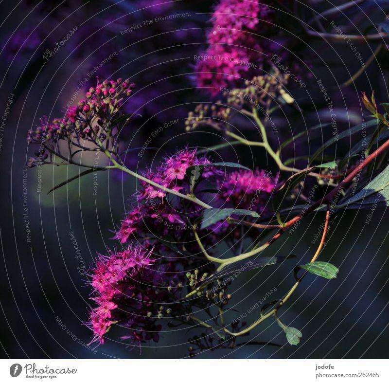 Nature Beautiful Plant Summer Environment Blossom Spring Bushes Violet Blossoming Grape blossom