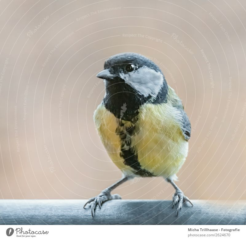 Cool Great Tit Nature Animal Sunlight Beautiful weather Wild animal Bird Animal face Wing Claw Tit mouse Beak Eyes Feather 1 Observe Illuminate Looking Stand