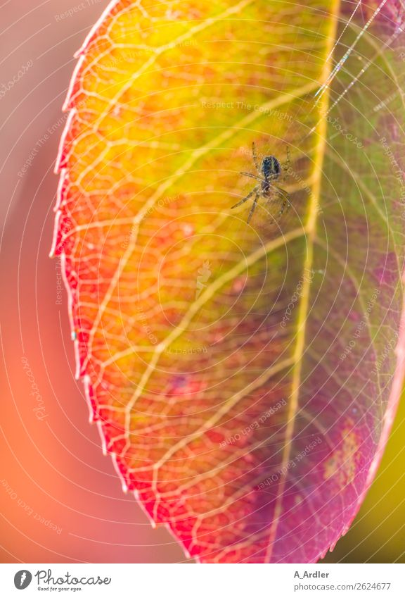 spider in the web Nature Plant Sunlight Leaf Garden Spider 1 Animal Beautiful Multicoloured Yellow Green Violet Pink Red Botany Spider's web Color gradient