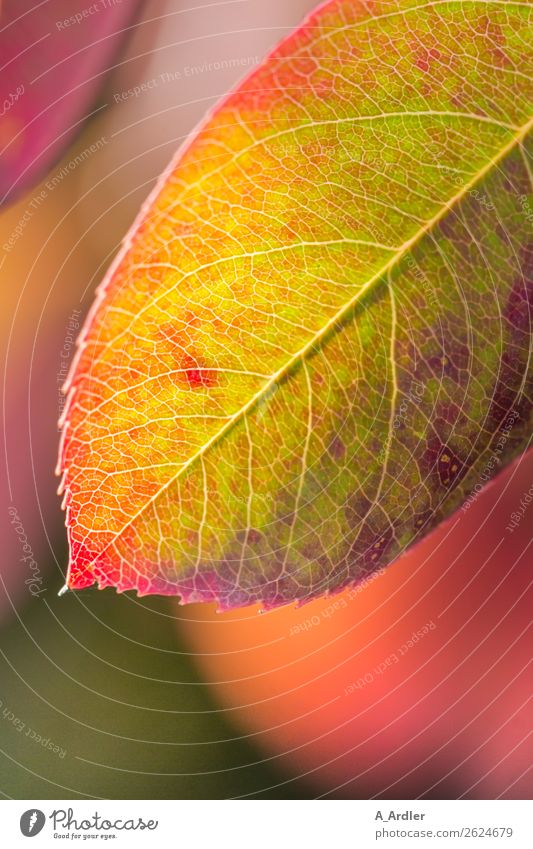 variegated autumn leaf Garden Nature Plant Sunlight Autumn Leaf Beautiful Multicoloured Yellow Green Violet Orange Pink Red Underside of a leaf Limp