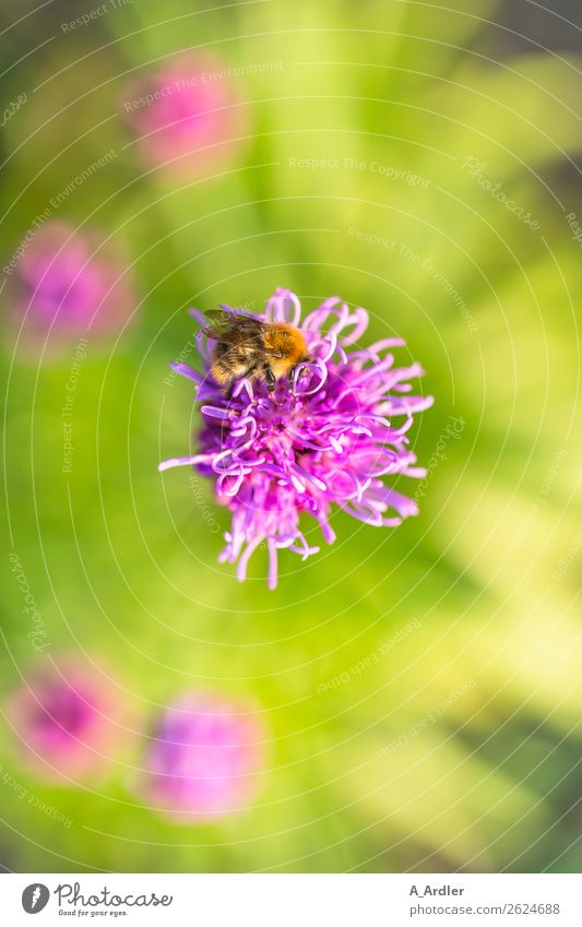 Blossom with honey bee Plant Flower Garden Animal Bee Honey bee 1 Beautiful Brown Multicoloured Yellow Green Pink Sprinkle Pollen Blur Colour photo