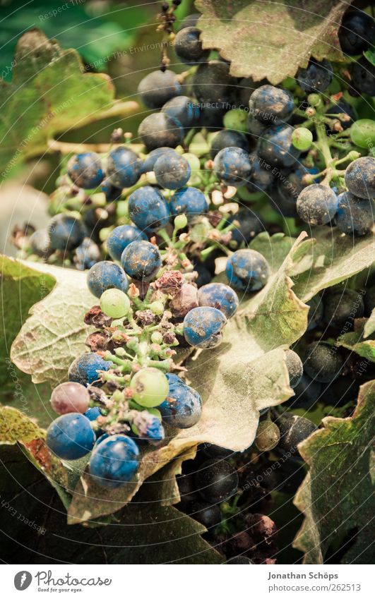 Nature Blue Green Plant Sun Summer Leaf Environment Food Warmth Fruit Growth Sweet Round Vine Beautiful weather