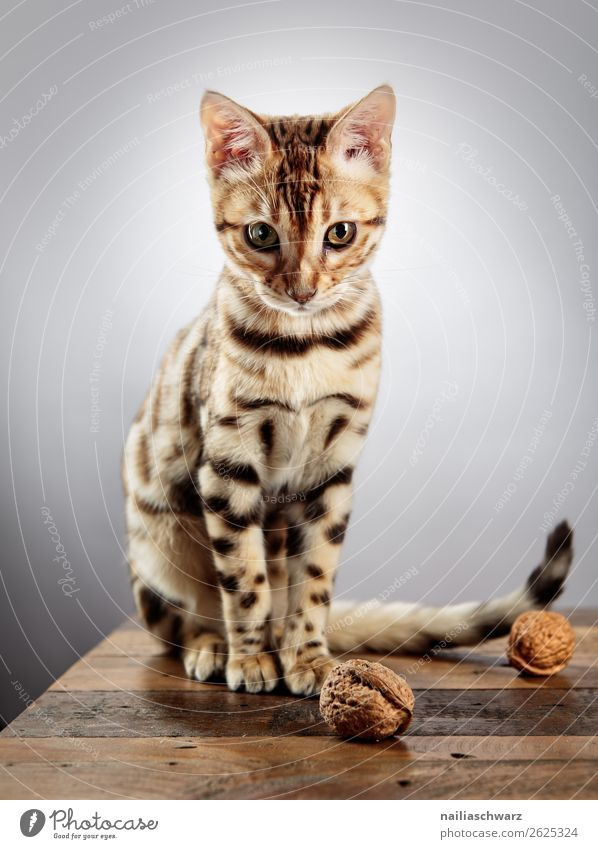Bengali Cat Food Nut Walnut Table Animal Pet 1 Baby animal Wood Observe Looking Sit Brash Happiness Beautiful Astute Curiosity Cute Contentment Sympathy
