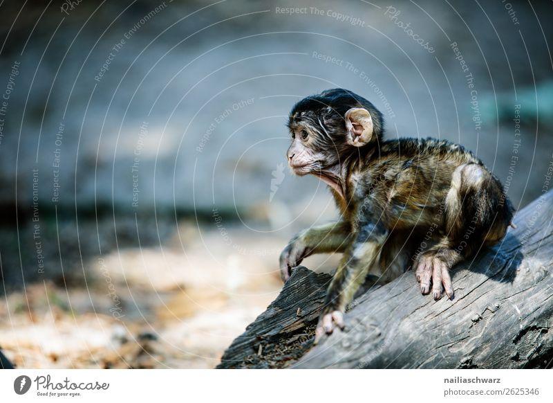 Barbary monkey Environment Nature Animal Wild animal Barbary ape Monkeys magot Macaca sylvanus Observe Discover Crouch Wait Brash Friendliness Happiness Natural