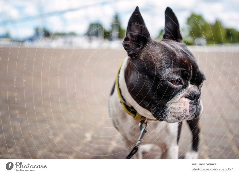 trip Vacation & Travel Tourism Trip Village Small Town Port City Street Animal Pet Dog Animal face boston terrier French Bulldog 1 Stone Discover Looking Stand