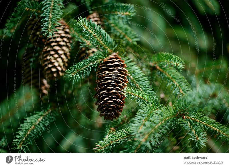 fir cones Christmas & Advent Environment Nature Plant Tree Foliage plant Fir tree Coniferous trees Cone Fir cone Garden Park Forest Fragrance Growth Natural