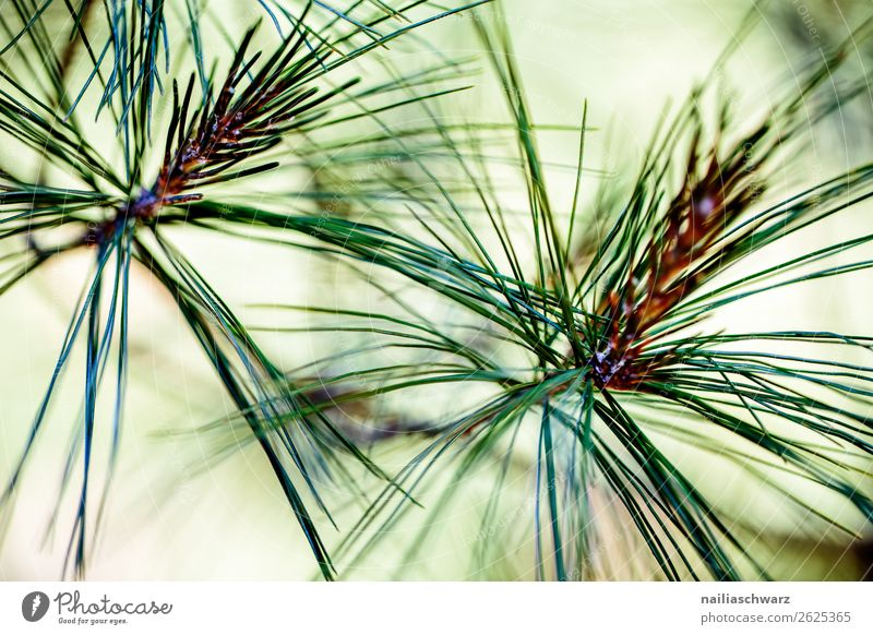 pine needles Environment Nature Plant Tree Leaf Foliage plant Pine Coniferous trees Garden Park Forest Growth Fragrance Fresh Natural Beautiful Green