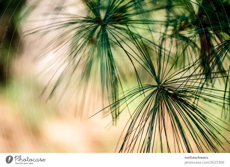Pine needles in summer tree Plant Coniferous trees coniferous Jawbone Nature Exterior shot green Environment Forest Day Deserted Colour photo Twig Blur natural