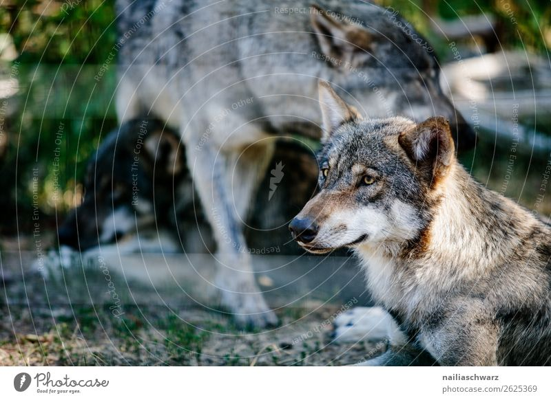 wolf Environment Nature Animal Wild animal Animal face Zoo Wolf Land-based carnivore Group of animals Pack Animal family Observe Discover Relaxation Looking