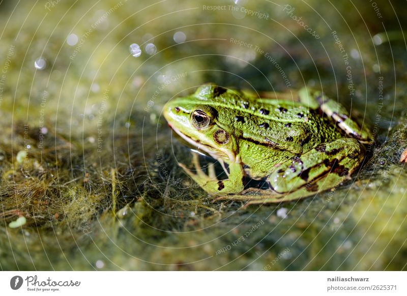 frog Animal Garden Bog Marsh Pond Lake Wild animal Frog Water frog 1 Observe Crouch Hunting Lie Looking Wait Wet Natural Slimy Love of animals Curiosity Boredom