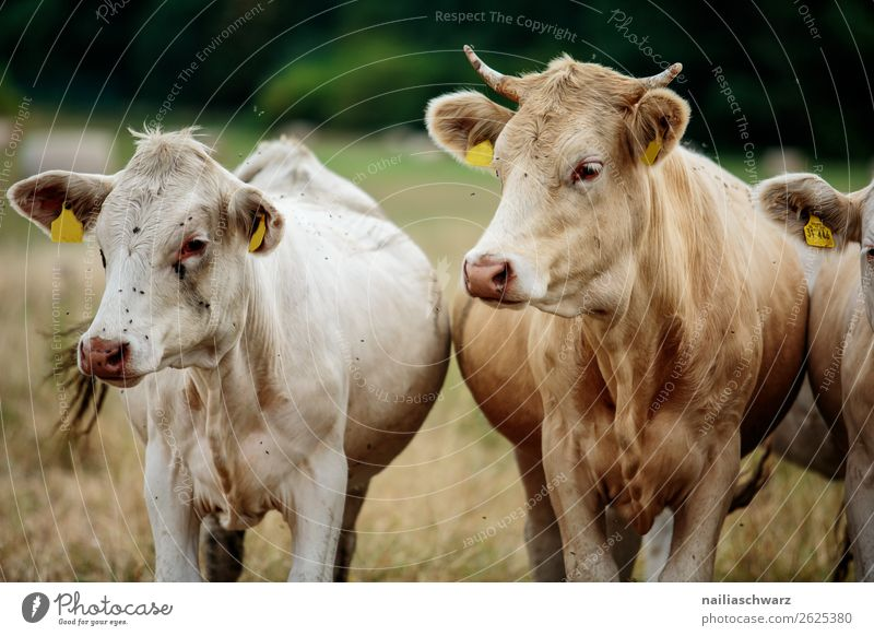 Cows Pasture Vacation & Travel Summer vacation Agriculture Forestry Farmer Grass Meadow Field Animal Farm animal 2 Group of animals Herd Observe Discover
