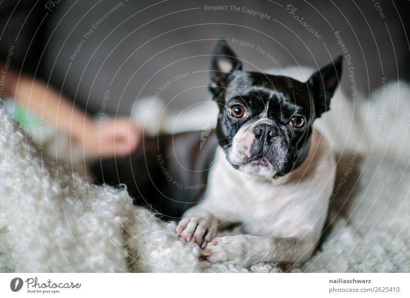 Boston Terrier Lifestyle Elegant Style Beautiful Animal Dog boston terrier French Bulldog Blanket Observe Relaxation Lie Looking Sleep Funny Natural Curiosity