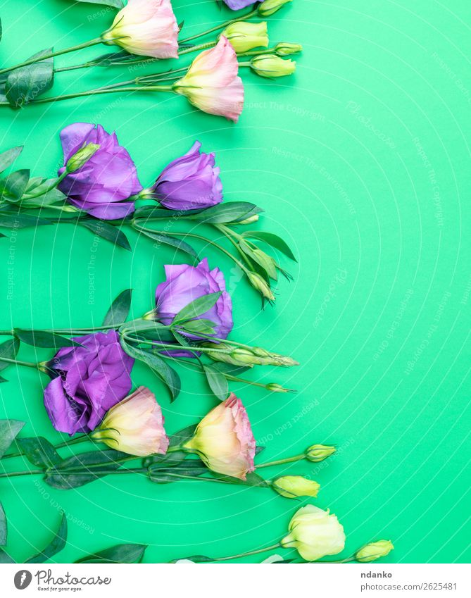 fresh blooming flowers Eustoma Lisianthus Beautiful Summer Feasts & Celebrations Nature Plant Flower Leaf Blossom Blossoming Fresh Natural Green Violet spring