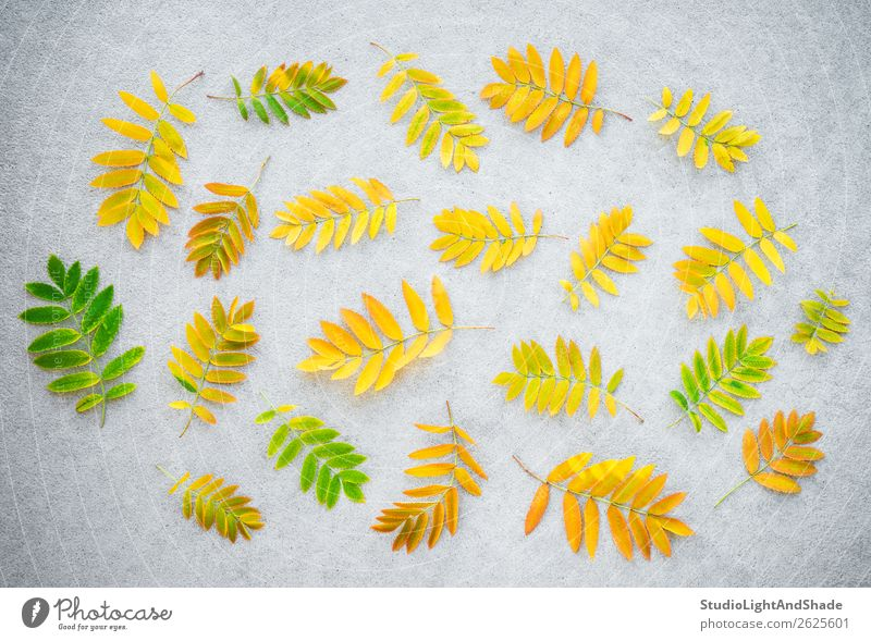Golden ashberry tree leaves on concrete background Nature Old Plant Colour Beautiful Green Tree Leaf Forest Autumn Yellow Natural Art Garden Orange Gray