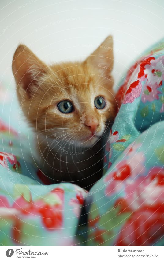 tilda Animal Pet Cat 1 Baby animal Playing Love of animals Dedication Help Curiosity Kitten putty ginger Red Bedclothes Blue Pink Eyes Colour photo