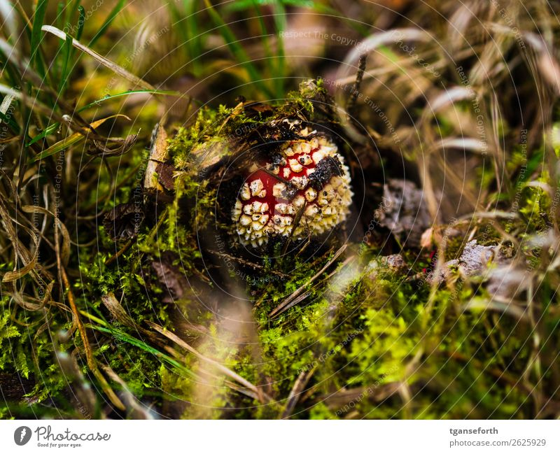 fly agaric Nature Plant Autumn Wild plant Forest Growth Fresh Beautiful Idyll Environment Amanita mushroom Poison Moss Colour photo Exterior shot Close-up