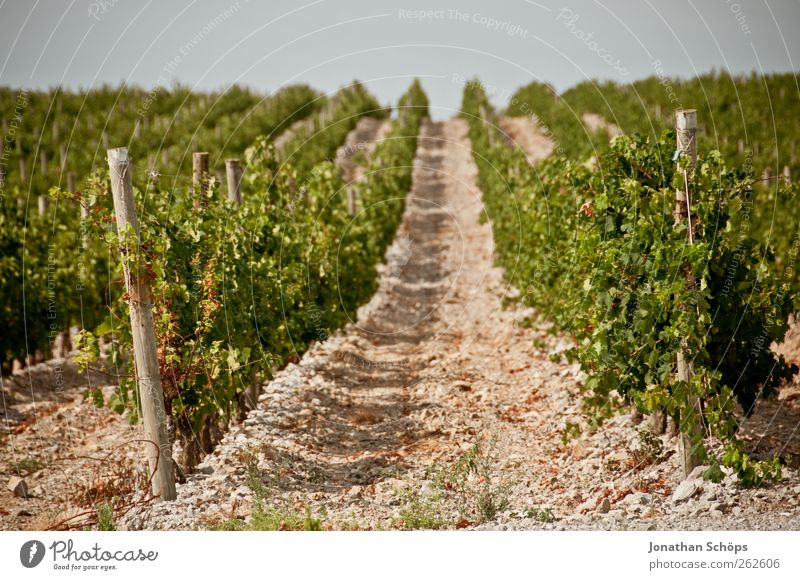 The vineyard XV Environment Nature Landscape Plant Beautiful weather Brown Green Vineyard Grape harvest Row Lanes & trails Middle Agriculture Arrangement