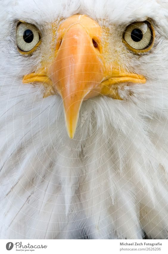 Detailed closeup portrait of an african fish eagle Nature Blue Beautiful Green White Ocean Animal Black Yellow Grass Germany Bird Wild Feather