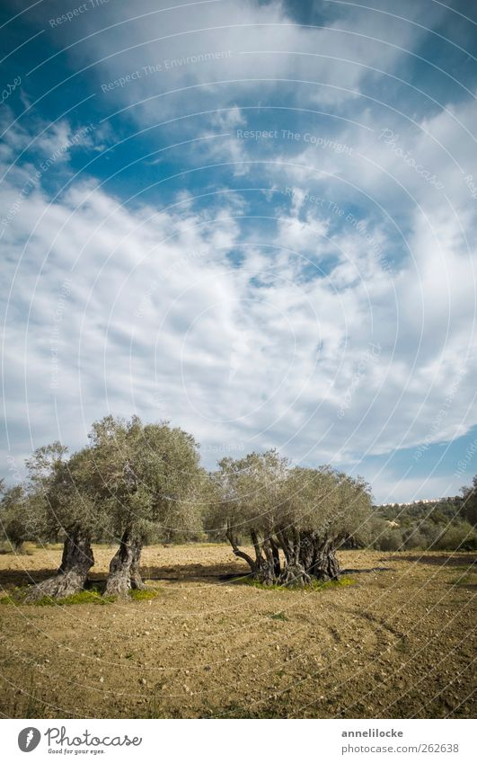 Genuine olive tree Vacation & Travel Tourism Trip Summer Summer vacation Environment Nature Landscape Animal Sky Clouds Climate Beautiful weather Plant Tree