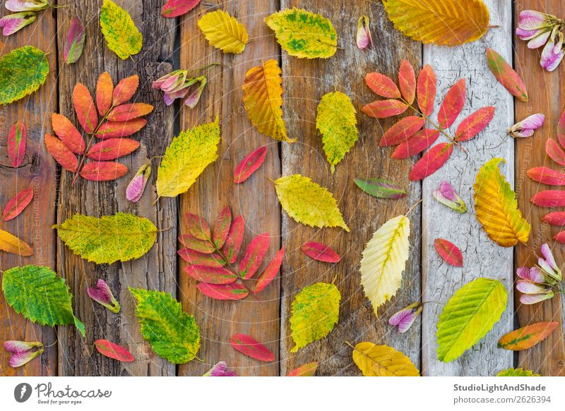 Colorful autumn leaves on rustic wood background Nature Old Plant Colour Beautiful Green Red Tree Leaf Forest Wood Autumn Yellow Environment Natural Art