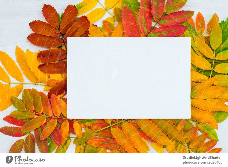 White canvas on colorful ashberry tree leaves background Nature Plant Colour Beautiful Green Red Tree Leaf Joy Forest Autumn Yellow Natural Art Garden