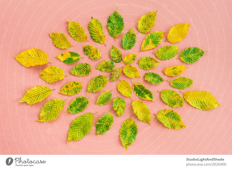 Colorful alder tree leaves on pastel pink background Nature Plant Colour Beautiful Green Tree Leaf Forest Autumn Yellow Natural Art Garden Pink Design