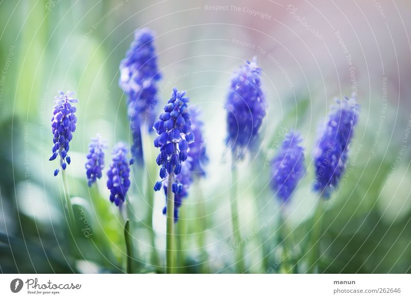 Nature Blue Plant Flower Spring Blossom Natural Spring fever Spring flower Hyacinthus Muscari Spring colours