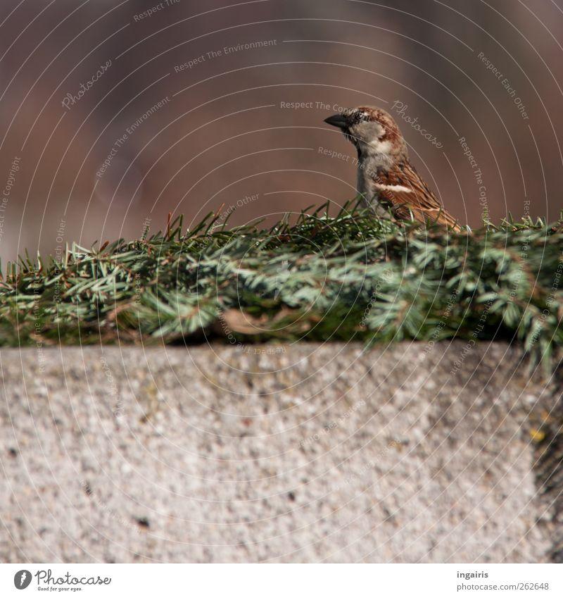 Curious sparrow Nature Animal Fir branch Wall (barrier) Wall (building) Wild animal Bird Sparrow Passerine bird 1 Observe Looking Brown Gray Green Safety