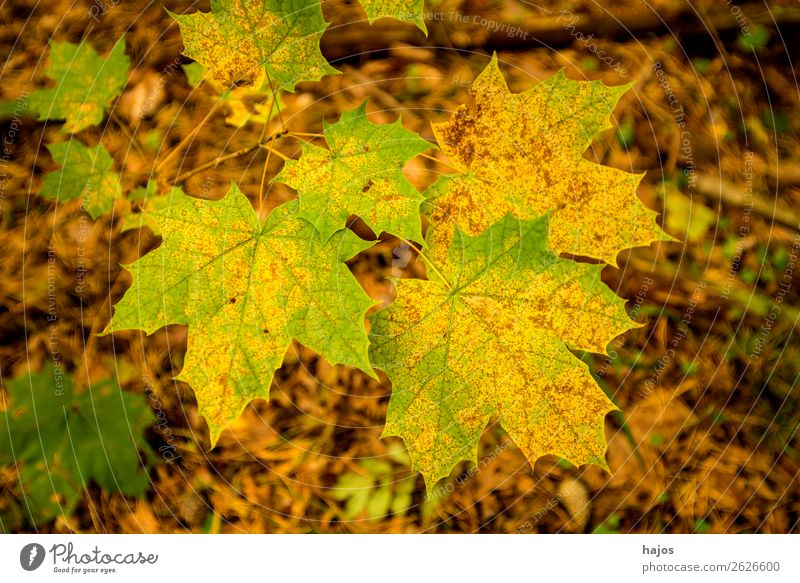 maple leaf in autumn colours Design Nature Tree Soft Brown Multicoloured Yellow Maple leaf variegated colored Autumnal Green Season Maple tree Colour photo