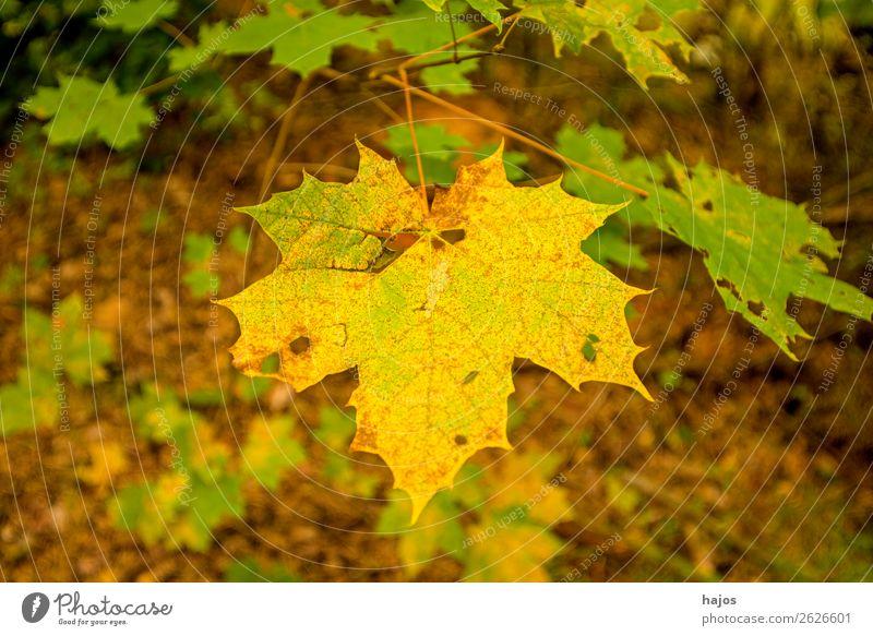 maple leaf in autumn colours Design Nature Tree Soft Yellow Maple tree Maple leaf discoloured Autumnal variegated Season Colour photo Exterior shot