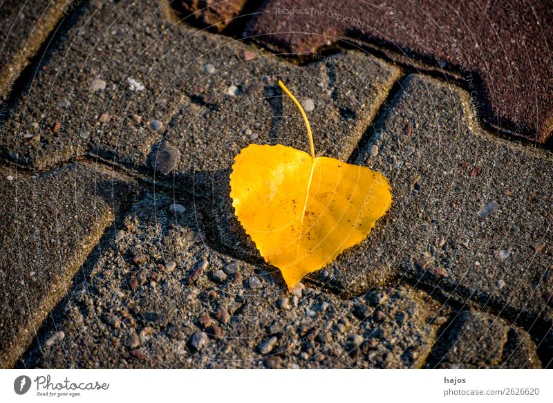 discolored lime leaf on a street Nature Plant Weather Warmth Yellow Background picture Lime leaf Leaf discoloured Fallen Autumn Street Season luminescent sunny