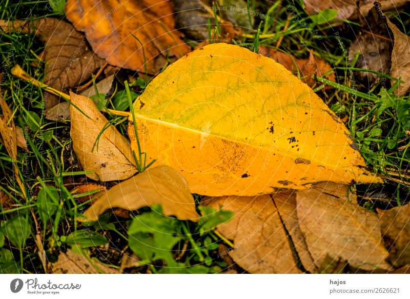 discoloured lime leaf Environment Nature Tree Beautiful Yellow Idyll Leaf Lime tree Autumnal Fallen Season Ground heartlinde Colour photo Exterior shot Deserted