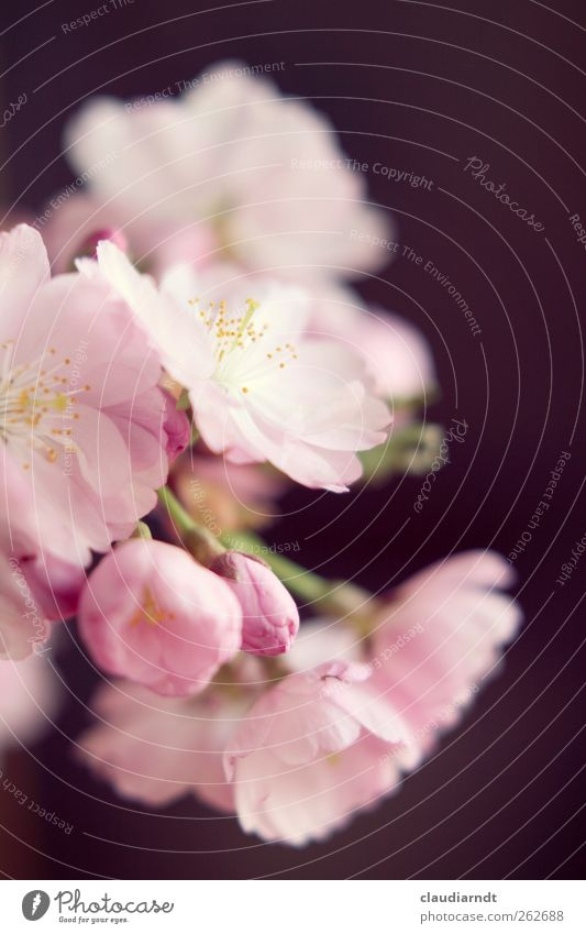 pink Nature Plant Spring Tree Blossom Ornamental cherry Cherry blossom Esthetic Beautiful Pink Delicate Stamen Bud Japan Blossom leave Flower Colour photo