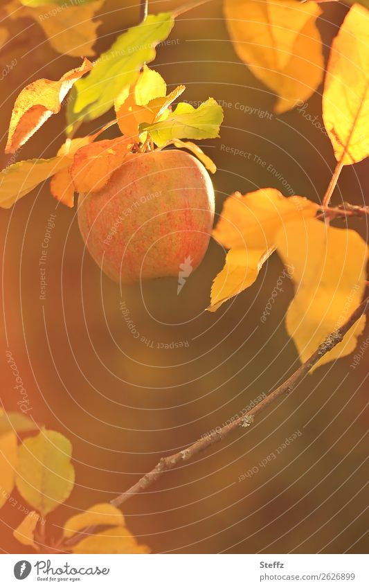 Nature Healthy Eating Beautiful Leaf Food Autumn Yellow Garden Orange Fruit Beautiful weather Twig Organic produce Apple Vegetarian diet