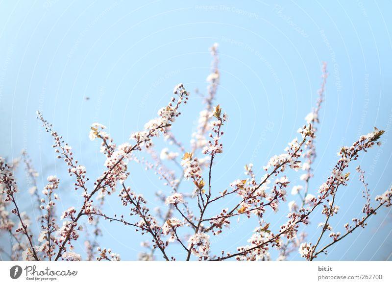 Sky Nature Plant Blue Relaxation Calm Joy Blossom Spring Garden Pink Park Birthday Bushes Beginning Blossoming