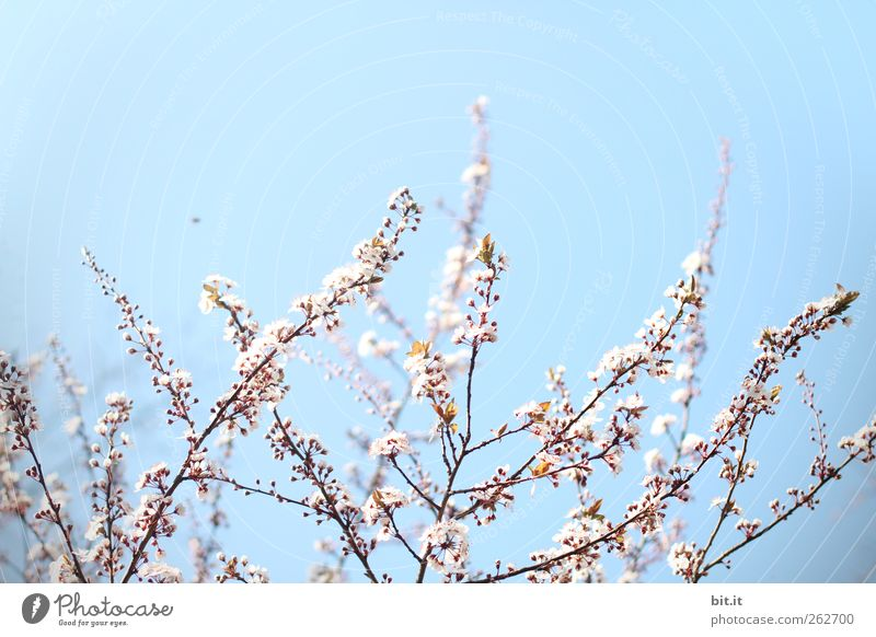 Sky Nature Plant Blue Relaxation Calm Joy Blossom Spring Garden Pink Park Birthday Bushes Beginning Blossoming