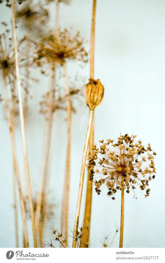 dried flowers Flower Blossom Apiaceae Straw Paper Daisy Decoration Autumn Off-Season Room Interior design Living room Ambient Depth of field Asparagus Deserted