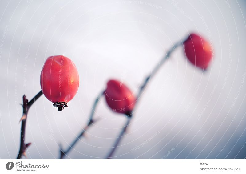 Pink canina Nature Plant Winter Bushes Rose hip Thorn Stalk Twig Meadow Cold Blue Red 3 Colour photo Subdued colour Exterior shot Close-up Detail