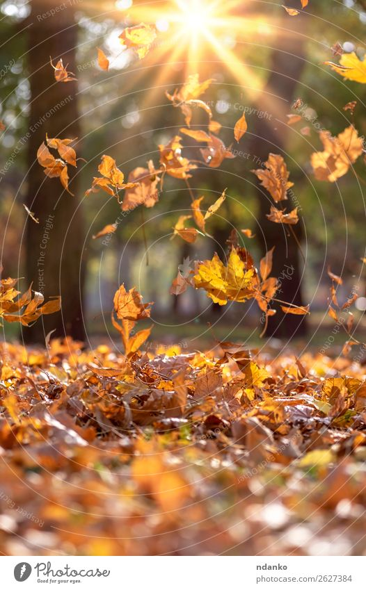 falling dry yellow maple leaves in the rays Nature Plant Colour Green Landscape Sun Tree Leaf Forest Autumn Yellow Environment Natural Garden Brown Bright
