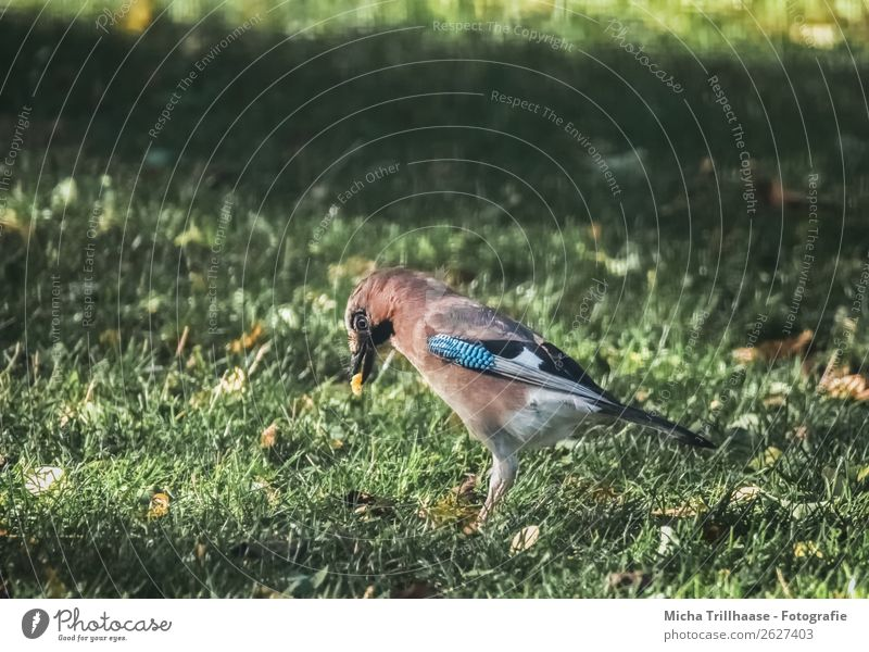 Jay with food in his beak Nature Animal Sunlight Beautiful weather Grass Meadow Wild animal Bird Animal face Wing Beak Eyes Feather 1 Eating To feed To enjoy