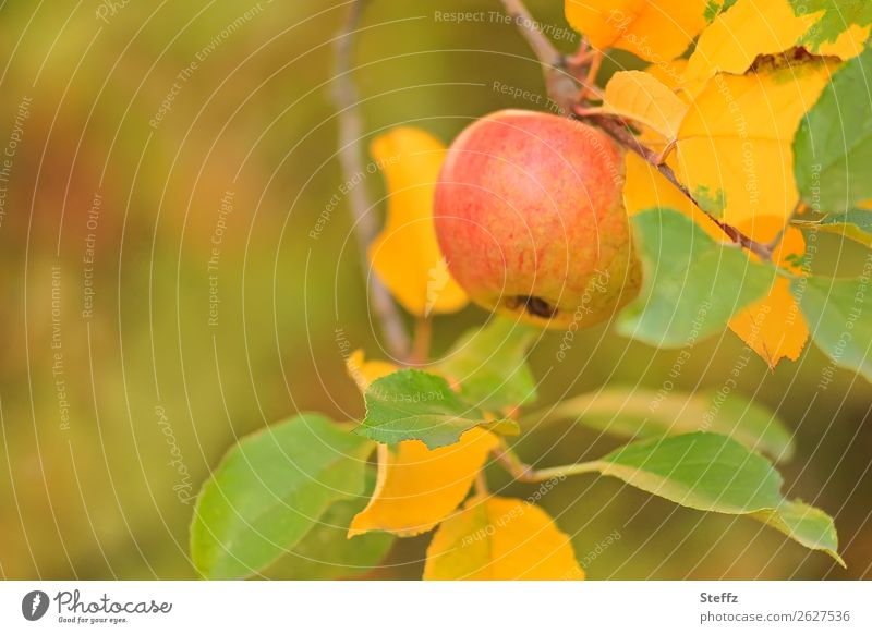 Apple in autumn garden apples organic Autumn fruit Fruit garden Garden natural Autumnal pastel shades Autumnal colours Sense of Autumn October Warm colour