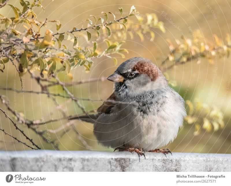 Big sparrow in autumn leaves Overweight Nature Animal Sunlight Autumn Beautiful weather Bushes Wild animal Bird Animal face Wing Claw Sparrow Passerine bird