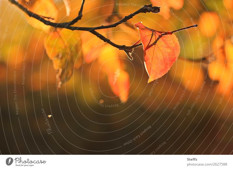 From autumn and light autumn mood autumn atmosphere November Sense of Autumn Autumnal colours Autumnal weather Apple tree leaf Autumn leaves autumn garden