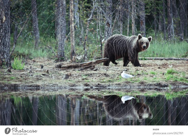 teddy bear Hunting Environment Nature Animal Forest Lakeside Pond Pelt Wild animal Bird 2 Observe Strong Brown Power Bear Brown bear Wilderness Hunter Finland