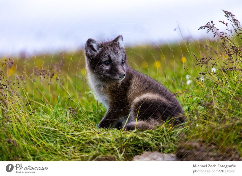 Arctic cub fox Hunting Summer Island Nature Animal Grass Meadow Fur coat Dog Baby animal Dark Small Cute Wild Blue Brown Gray Green White Fox wildlife polar