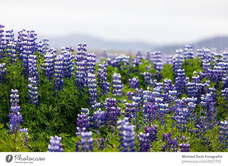 Lupine flowers field Beautiful Sightseeing Summer Island Mountain Nature Landscape Plant Sky Spring Flower Blossom Meadow Alps Lakeside New Blue Green Pink