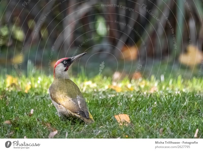 Green Woodpecker on the Meadow Nature Animal Sun Sunlight Beautiful weather Grass Leaf Wild animal Bird Animal face Wing Eyes Beak Feather 1 Observe To feed